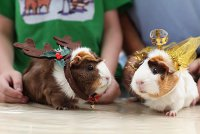 Морские свинки тоже встречают Новый год
