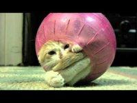 Котенок застрял в шаре для хомяка