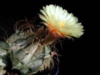 Астрофитум: лучший из экзотических