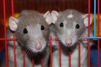 Как подселить к крысе новичка?