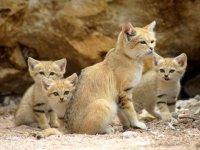 Барханные кошки