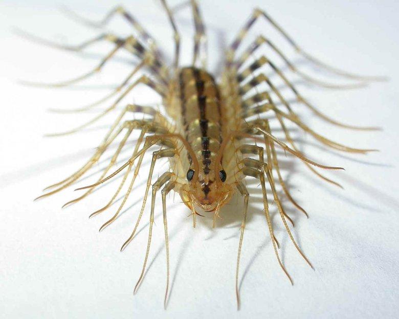 Многоножки - самые полезные насекомые в доме