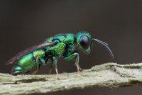 Изумрудная тараканья оса и ее жертвы-зомби