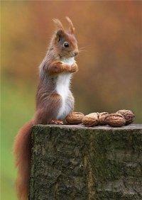 Белка. Орехи. Пень
