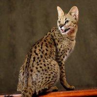 Самая дорогая кошка в мире: саванна