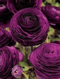 Ранункулюс пурпурный - настоящее украшение вашего цветника