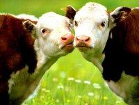 Редкие профессии в Европе: имидж-мейкер коров