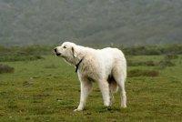 Акбаш - турецкий сторожевой пес