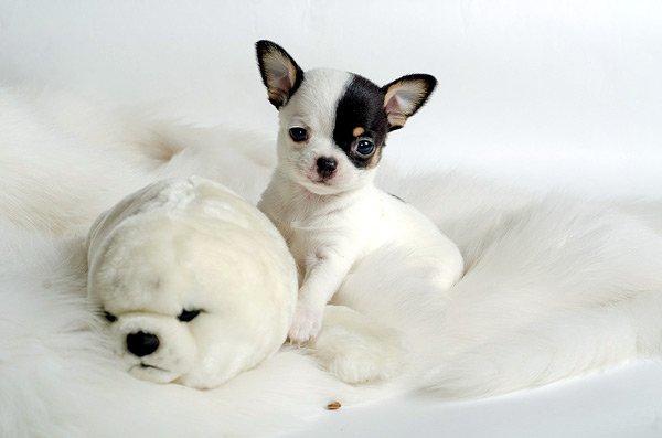 Почему щенок дома соблюдает чистоту, но мочится на мебель, когда дома гости?