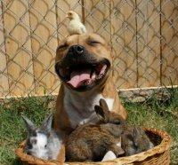 Бум - питбуль, который очень любит кроликов