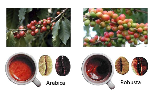 Робуста и арабика: в чем разница и как отличить друг от друга?