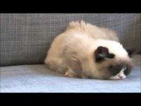 Harlem Shake в исполнении Grumpy Cat