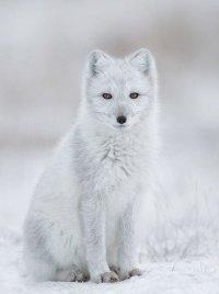 Песец (полярная лиса)