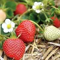 Уход за земляникой и клубникой: защита от вредителей и болезней