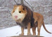 Странные животные: лев + морская свинка