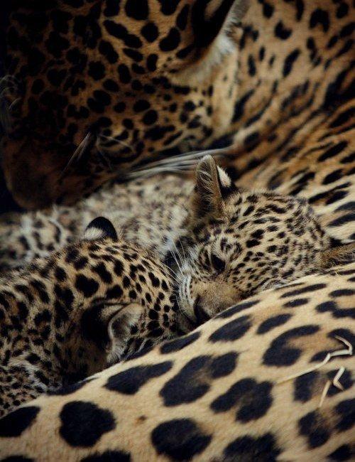 Отдыхающие леопарды