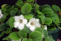 Нежное растение альсобия
