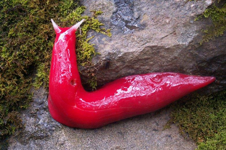 Гигантский красный слизень