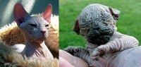 Кохона - «старая» кошка