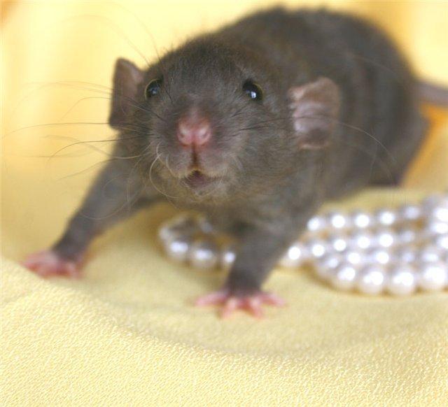 Какую кличку дать крысе