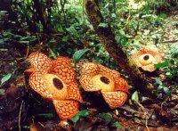 Раффлезия - паразитическое растение с самыми большими цветами в мире