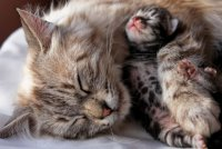 Молодая мама: уход за кошкой после родов