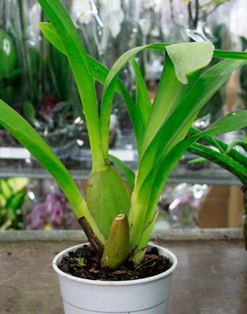 Уцененные орхидеи: как выбрать растение