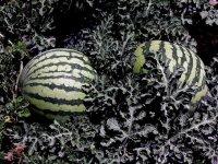 Как выбрать спелый арбуз на грядке