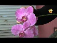 Как выбрать фаленопсис при покупке и как его пересадить