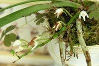 Вредители орхидей: тля