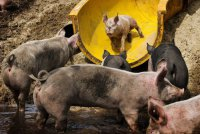 Аквапарк для свинок