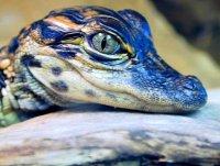 Почему плачут крокодилы, или откуда взялось выражение «крокодильи слезы»?
