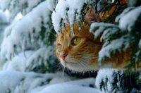 Характер кошки и ее окрас: рыжая кошка