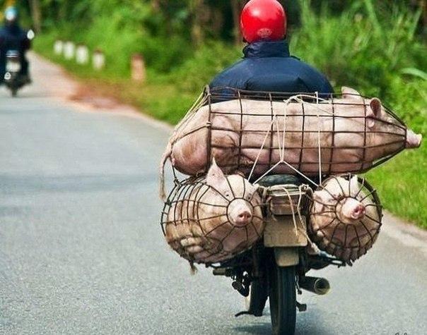 Эконом-класс: экстремальная перевозка свиней