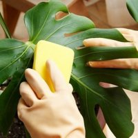 Как мыть комнатные растения?