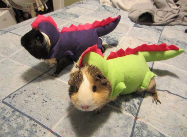 Животинка к Хэллоуину готова: морская свинка-дракон
