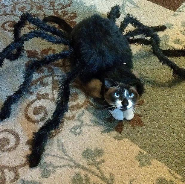 Животинка к Хэллоуину готова: кошка-паук