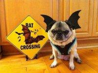 Животинка к Хэллоуину готова: собака-летучая мышь