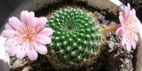 Вянет кактус: что делать