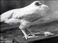 Обезглавленный цыпленок жил в течение двух лет
