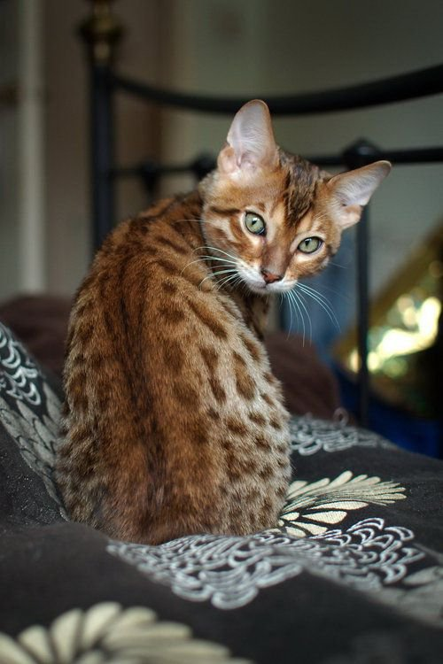 О чем расскажут уши кошки