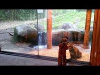 Мальчик и тигренок играют в зоопарке