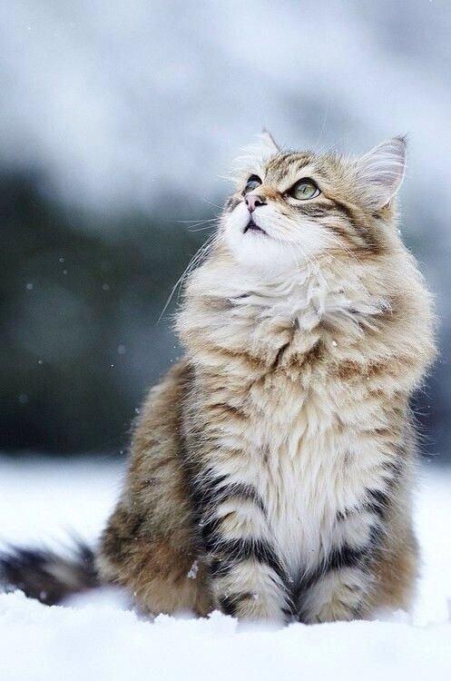 О чем расскажет поза тела кошки