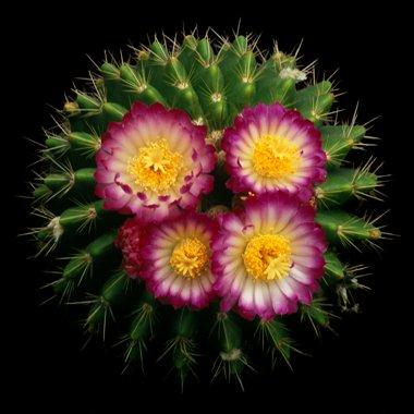 Как заставить кактус цвести?