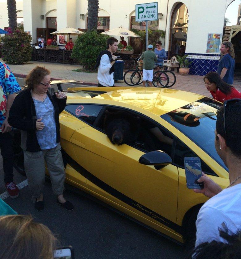 Медведи тоже любят Lamborghini