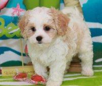 Кавашон - собака для любителей щенков