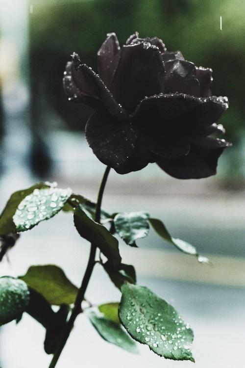 Черные розы Halfeti