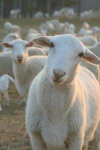 Ресторан, секс и еда, или бедные-бедные японские овечки
