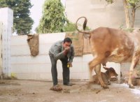Коровья моча как панацея от болезней