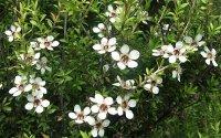 Полезное применение масла чайного дерева